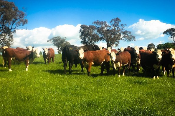 central tablelands cows stock