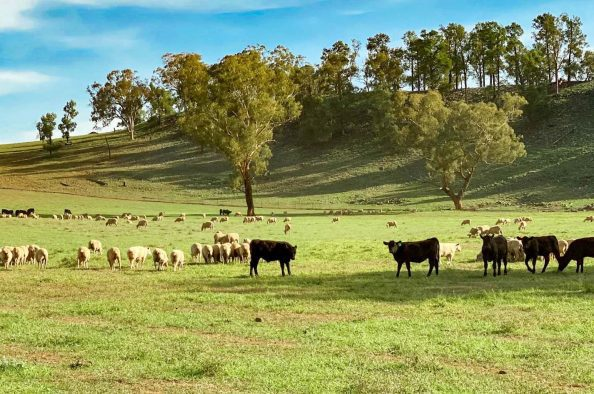 macada-rural-cattle-stock-grazing